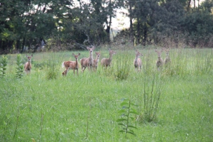 Herd of deer - Stafford Trail