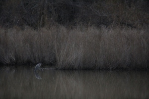 Blue heron? in the pond.