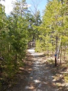 Lovely pitch pine forest on either side throughout this part of the hike.