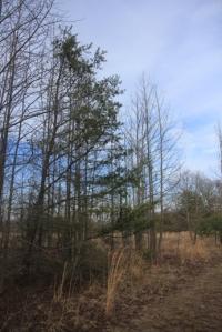 Weird half tree on the blue trail.