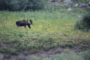 Spotting moose grazing over your campsite.