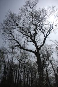 BIG tree.