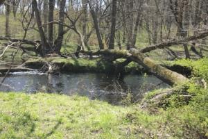 Big tree (over Rancocas Creek).