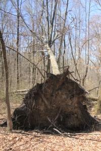 BIG tree down.