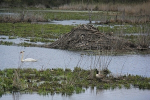 Beaver lodge and swan in one shot- how's that for luck?