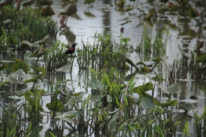 Swamp with a red winged blackbird.