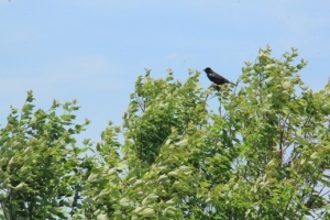 A bird up a tree.  Not sure what type, maybe a red-winged black bird (I saw a lot of them).