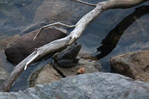 Big bullfrog at Sunfish Pond.