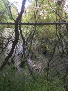 You'll pass the fenced in pond. There were at least a dozen frogs in here when we walked past.