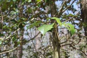 Holly tree.
