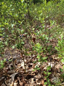 Wild blueberries in the pines-- you don't say!