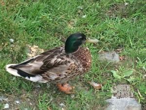 Duff-ees... er, ducks.
