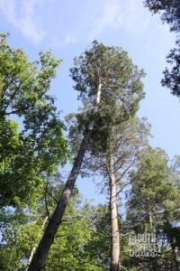 Cedars.